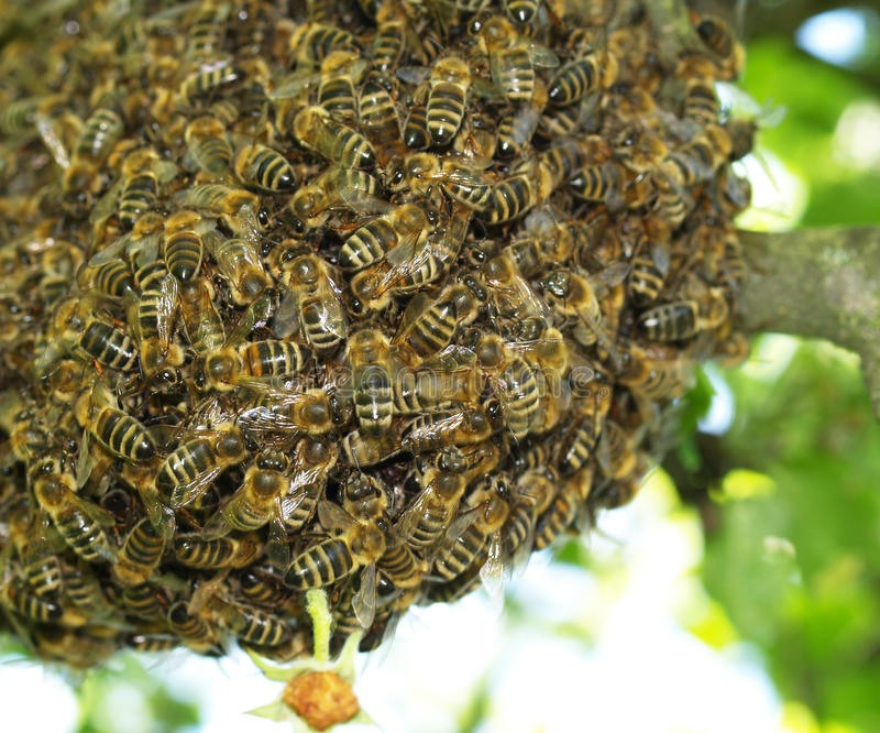 Feira de Santana sofre ataque de enxames de abelhas