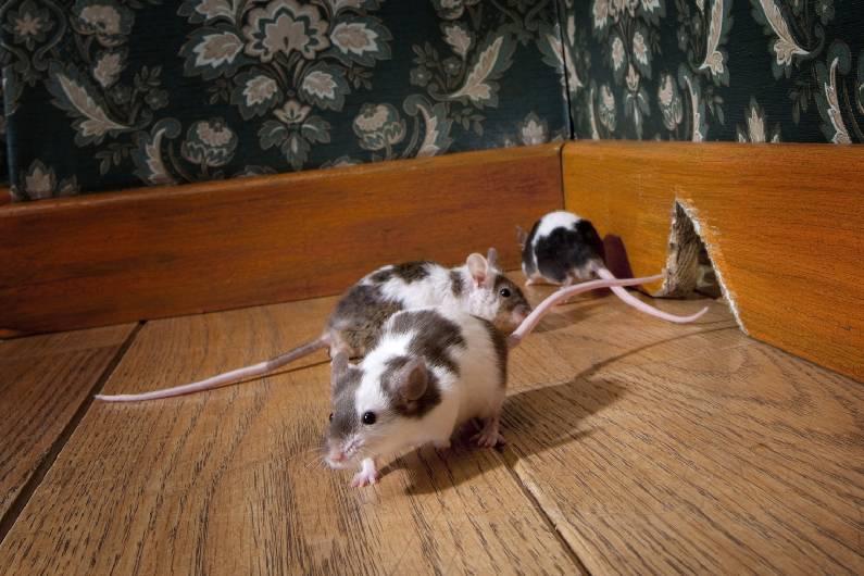 Desratização em Salvador: elimine infestações de ratos na Bahia