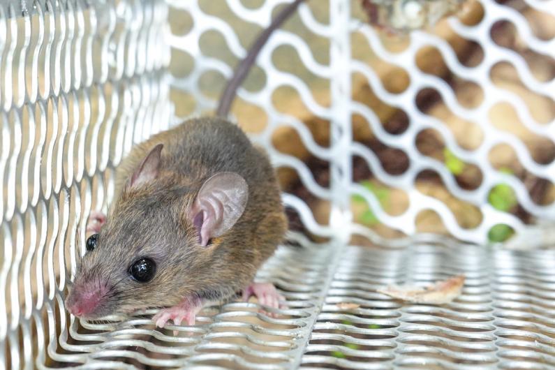 Espécies de roedores que mais causam problemas em empresas em Salvador | Salvador | Bahia